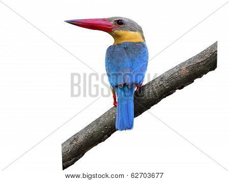 Stork-billed Kingfisher, Halcyon Capensis, Perching On The Tree Waiting For Fishing Showing Its Best