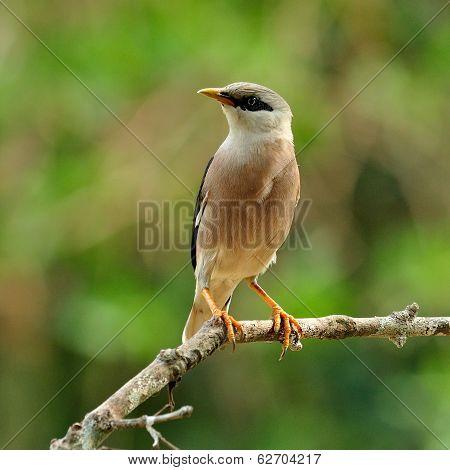 Venus-breasted Starling (sturnus Burnammicus) Standing On The Branch