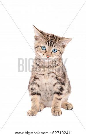 Sad Blue-eyed Tabby Kitten
