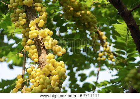 Phyllanthus acidus
