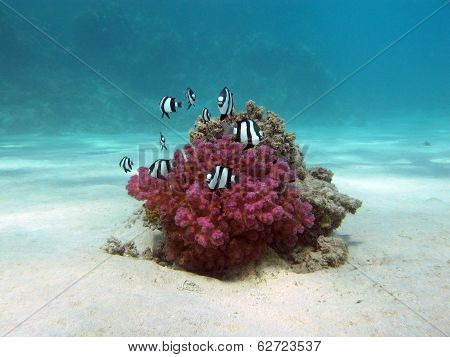 coral reef with hard coral and exotic fishes white-tailed damselfish at the bottom of tropical sea