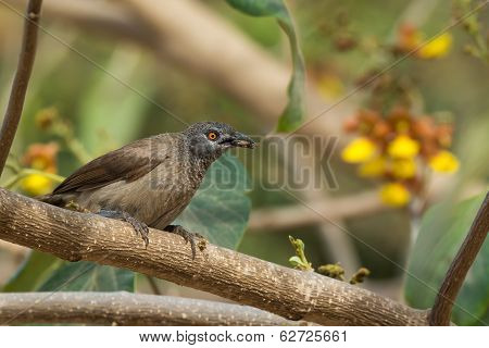 Brown Babbler With An Insect In Its Mouth