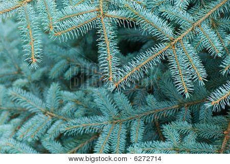 Blue Fir-tree