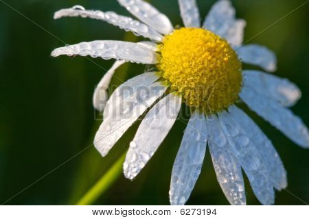 Mayweed Flower
