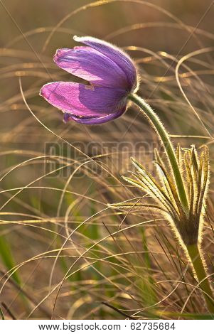 Pasque-flower On The Meadow