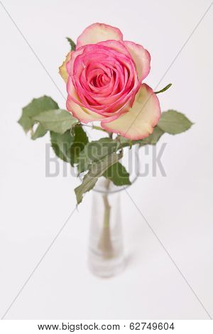 Pinkisch And White Rose In Glass Vase On White
