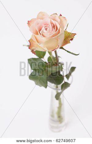 Rose Rose In Glass Vase On White