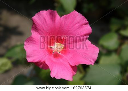 Close up of pink hibiscus flower