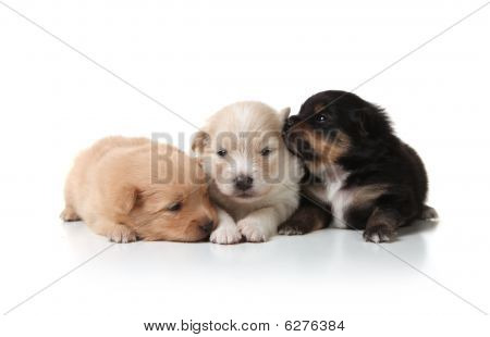 Sweet And Cuddly Pomeranian Newborn Puppies