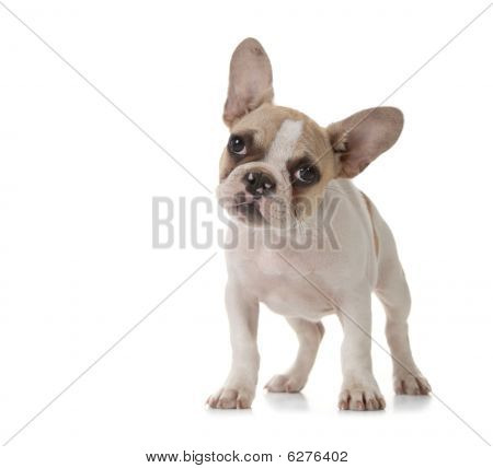 Adorable Puppy With Big Ears Standing Up