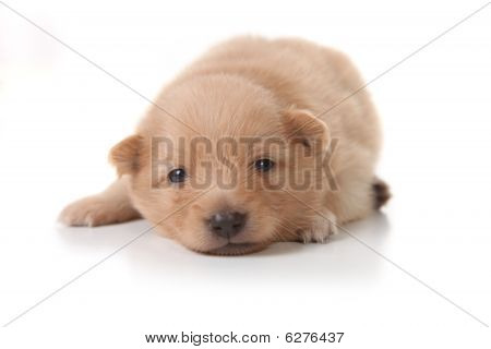 Sweet Tan Colored Pomeranian Newborn Puppy