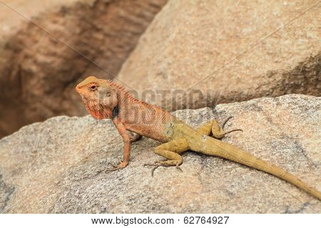 brown Lizard, asian lizard or tree lizard