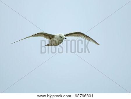 Kumlien's Gull
