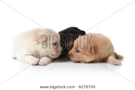 Tan Black And White Colored Pomeranian Puppies