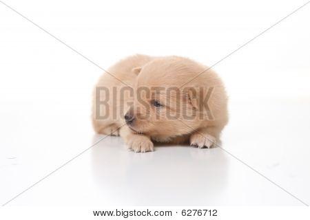 Cute Pomeranian Newborn Puppy