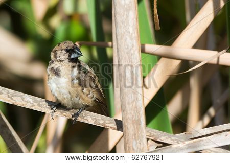 Young Bronze Mannikin Perched On A Dried Reed