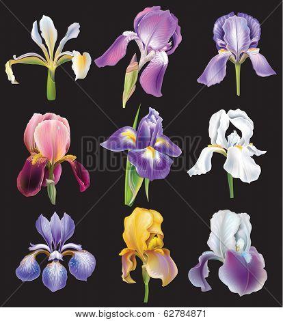 Set of Iris flowers