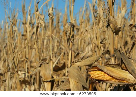ripe corn ready for harvest