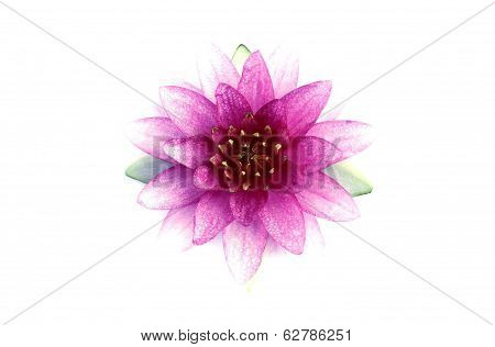 Pink Lotus Flower Or Waterlily Isolated On White