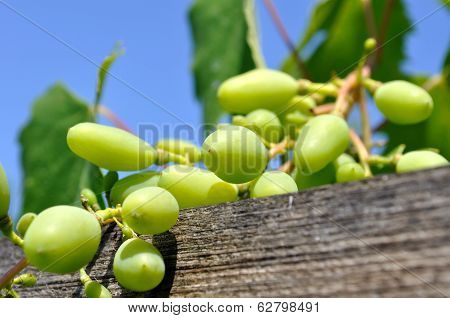 Close-up Of Ripening Grapes