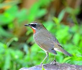 Siberian Rubythroat (luscinia Sibilans) Standing On The Rock With Back Feathers Profile