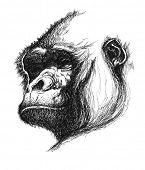 hand drawn gorilla realistic vector eps 8