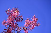 stock photo of hermaphrodite  - Wild Himalayan Cherry blossom with clear blue sky as a background pink flower sakura - JPG