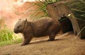 image of wombat  - An Australian native animal called a wombat  - JPG