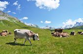 Herd of cows in Alpine meadow