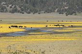 picture of klamath  - Cattle standing in the middle of a yellow flowered field along Hwy 140 near Klamath Falls Oregon - JPG