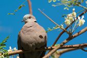 pic of moringa  - An African Mourning Dove  - JPG