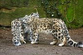 stock photo of panthera uncia  - a portrait of two snow leopard together - JPG