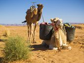 stock photo of sahara desert  - Camels in the Sahara Desert - JPG