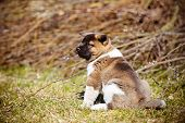 american akita puppy outdoors