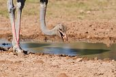 foto of ostrich plumage  - Male ostrich looking for food close to a water hole in dry earth - JPG