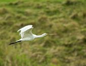 Spoonbill Flying
