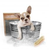 stock photo of washtub  - Puppy Getting a Bath in a Washtub In Studio - JPG