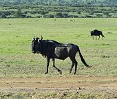 foto of wildebeest  - Wildebeest in Masai Mara National Park - JPG