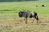 image of wildebeest  - Wildebeest in Masai Mara National Park - JPG