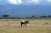image of wildebeest  - African Wildebeest in Amboseli National Park  - JPG