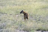 foto of hyenas  - African hyenas in Amboseli National Park  - JPG