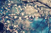 picture of greenery  - Apricot tree flower with buds blooming at sptingtime - JPG