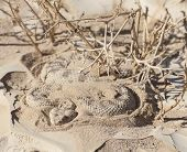 image of snake-head  - Egyptian desert viper snake cerastes cerastes buried in the sand - JPG