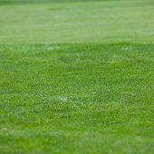 stock photo of manicured lawn  - Background of fresh short green grass on a manicured lawn in a garden or on the greens on a golf course square format