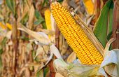 foto of corn stalk  - Ripe corn in the field - JPG