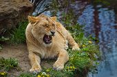 stock photo of lioness  - Lovely lioness opend mouth at the best zoo