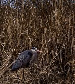 stock photo of cattail  - Great Blue Heron seeking shelter in a cattail and cane break. Lakes