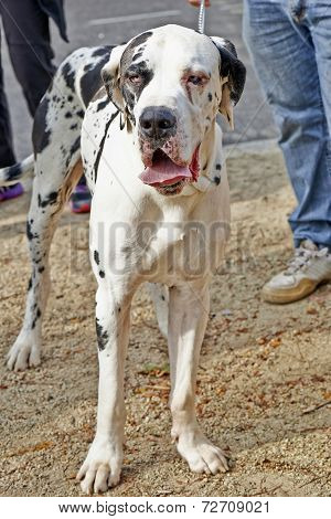 A Large Great Dane Dog Standing With Leash.