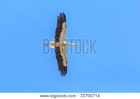 Silhouette of flying adult White Stork