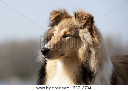 Scotch Collie looking to the left